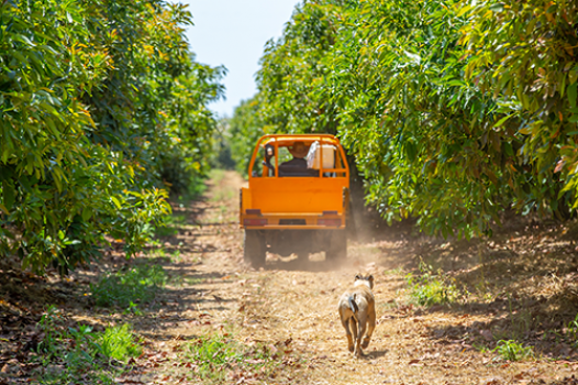 Buggy driving down avocado orchard
