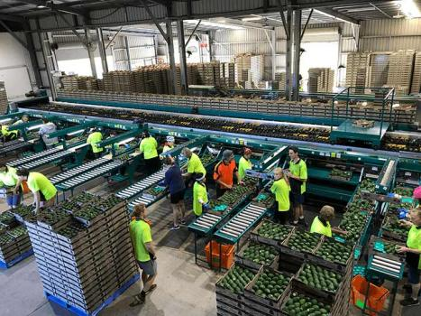 Factory workers processing avocados